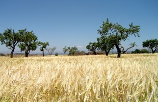 grain-field-2646_640